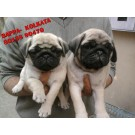 KCI~ REGISTERED TOP QUALITY PUG PUPPIES AVAILABLE FOR SALE ~ FRIENDS KENNEL~KOLKATA