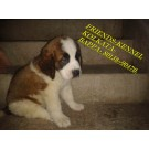 WORLD LARGEST TOP PEDIGREE SAINT BERNARD PUPPIES AVAILABLE 4 SALE !! KOLKATA