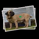Saint Bernard Dog English Mastiff French Mastiff  Dog Variety Kennel
