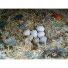 Fresh fertile parrot and poultry eggs ready