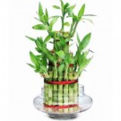 Green Indoor Bamboo Plants from Gergstore
