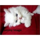 Beautiful white persian cat for sale