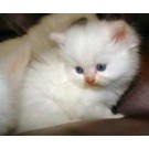 Beautiful Persian Kittens Available For Sale