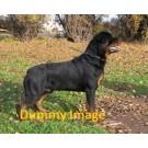 Best quality rottweiler puppies sale