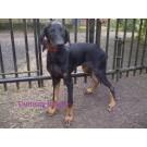 Best quality Doberman pup for sale