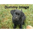 Black Labrador For Sale