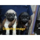 Black colour pug For Sale