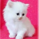 Cute white little kitten 2 months old for sale