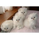 Cute Persian kitten for sale