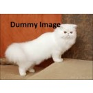Cute white colour persian cat for sale