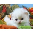 Cute White Kittens For Sale