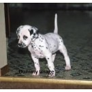 Dalmisian Pups Sell Very Low Price