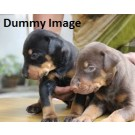 Doberman Puppy For Sale In Agra