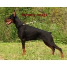 Doberman Puppies In Best Price For Sale