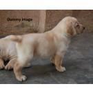 Doberman pups for sale in Ranchi