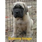 English mastiff pups for sale