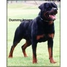 Gaint Boned Rottweiler Pupps Are Sale
