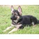 German sheperd puppies for sale