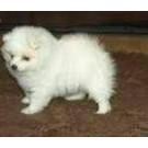 German Spitz Pupps For Sale Noida