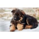 German Shepherd Puppies For Sale In Noida