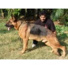 German Sheperd couple for sale