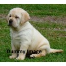 Golden Labrador puppies for sale in bangalore