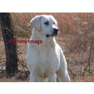 Golden Lab Female Available For Sale