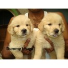 Golden lab beautiful puppies for sale in Bangalore