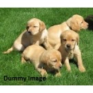 Good Quality Lab Puppies For Sale