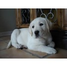 High Breed Quality Of Labrador For Sale
