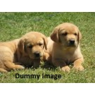 Lab Healthy Puppies For Sale