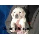 Labrador puppy for sale Patna