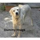 Labrador Female Pup for sale