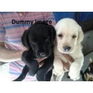 Labrador Puppies Of Good Quality Available