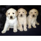 Labrodor Puppies For Sale In Pune