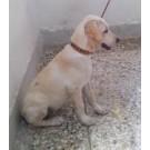 Labrador Female Dog For Sale