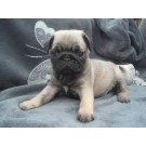 Male and female Pug puppies for sale