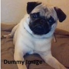 12 Month Pug Male Are Available For Sale