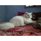 My sweet cat for sale in Hyderabad