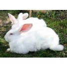 2 Newzeland White Rabbits For Sale