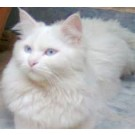 Persian Male Cat For Sale