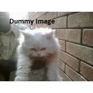 Persian Cat Male For Sale