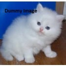 Persian Cat Kittens For Sale