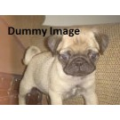 Pug female one month old for sale