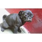 Pug Female Puppie For Sale In Bangalore