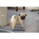 Pug Female Puppy 35 Days Old Sale