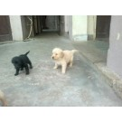Pure Bread Heavy Bone Healthy Puppies For Sale