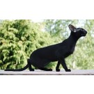 Pure Black Cat for sale in Delhi