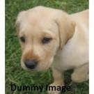 Pure Breed Labrador Pups For Sale