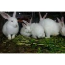 Rabbit For Sale In Pune